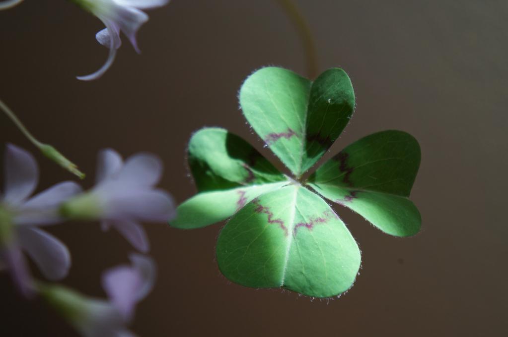 Trefle-quatre-feuilles1.jpg